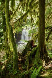 Hemlock Falls view through mossy trees in Umpqua National Forest.
