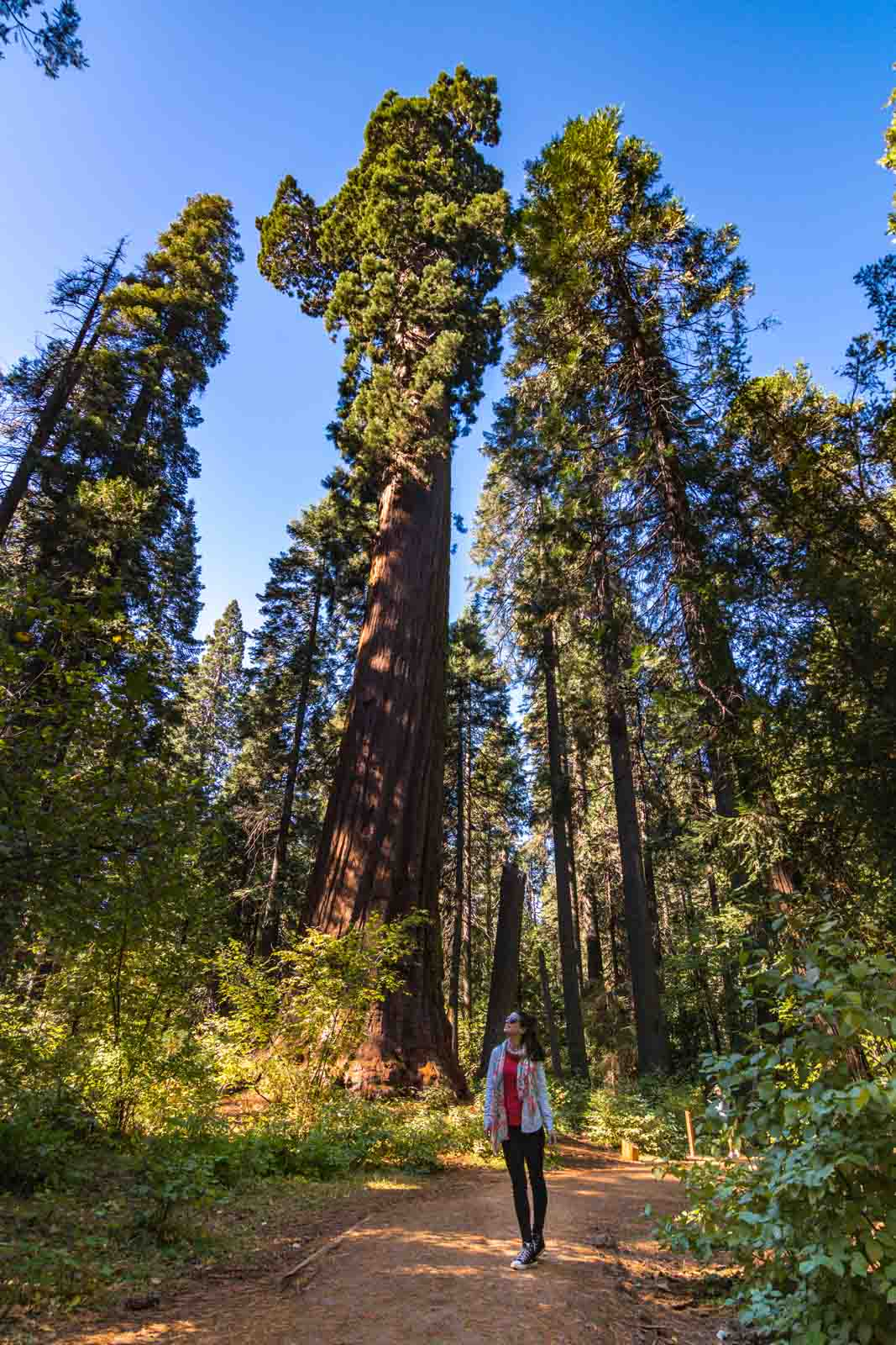 Big trees is yet another thing that should be added to your Northern California road trip