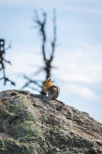 Ground squirrel on a rock on the Black Butte Trail