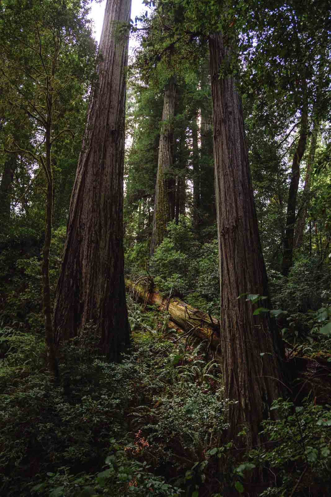 Redwood forest in Alfred A. Loeb Oregon Coast State Park