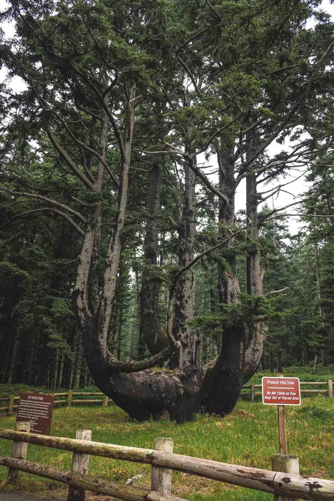 Octopus Tree near Cape Meares Lighthouse, one of the best Oregon Lighthouses