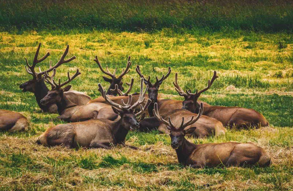 Elk sitting in grassy field near Seaside, Oregon