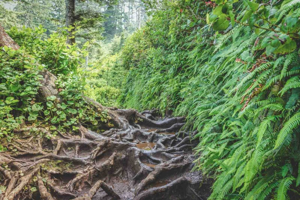 Hiking trails with lots of roots and thick green plants on either side at Cape Lookout