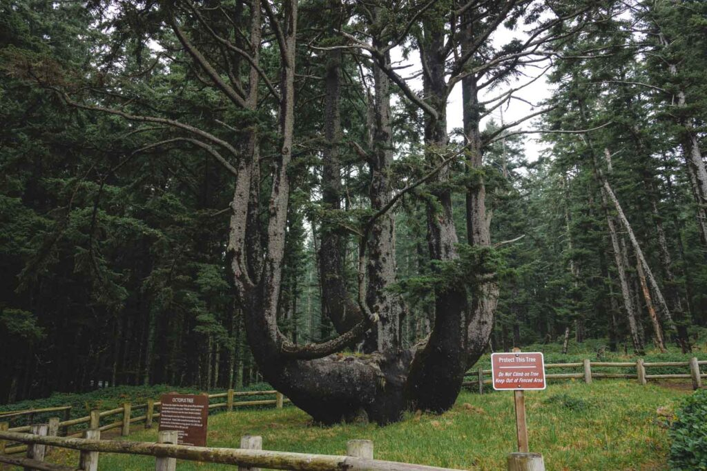 Octopus tree with two signs in front at Cape Meares