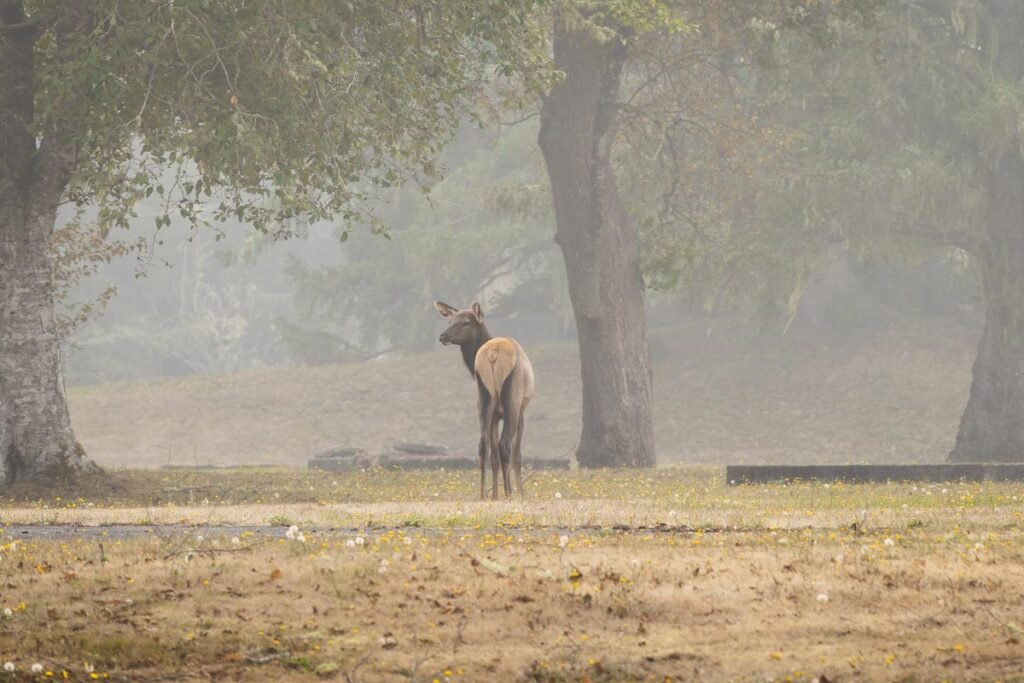 Elk through the fog by a large tree at Fort Stevens State Park