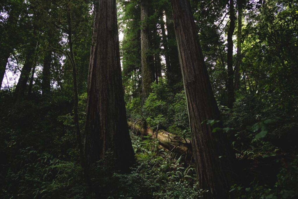 Dark forest with Oregon redwoods and bushes