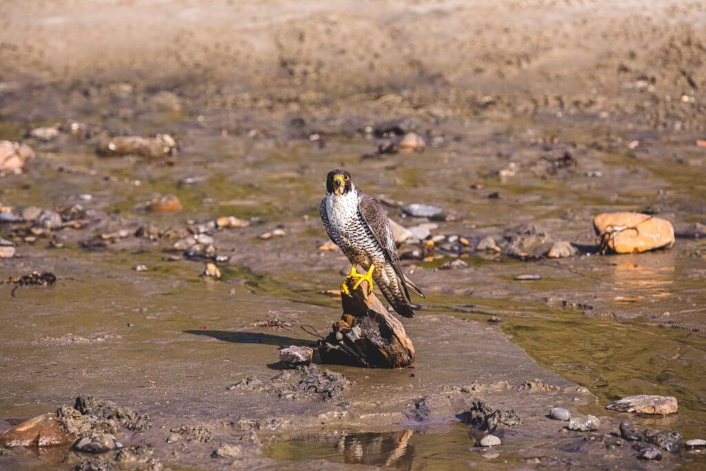 Up close portrait of a Peregrine falcon sitting on a piece of a driftwood